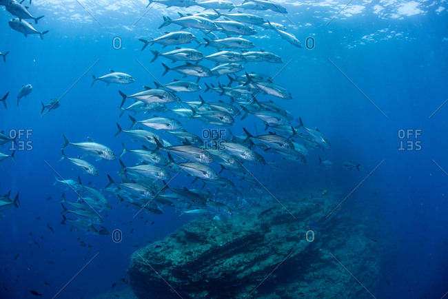 Underwater view of shoal of horse-eye jack (caranx latus) swimming above rocky formation, San Benedicto, Revillagigedo, Colima, Mexico