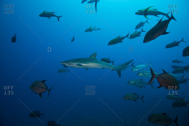Underwater view of shoal of silky shark (carcharhinus falciformis) San Benedicto, Revillagigedo, Colima, Mexico