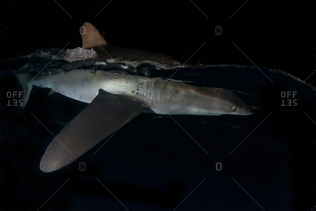 Silky shark (carcharhinus falciformis) on water surface in darkness, attracted to lights of boats, San Benedicto, Revillagigedo, Colima, Mexico