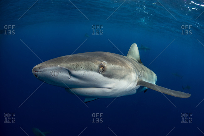 Underwater view of Galapagos shark (carcharhinus galapagensis) looking at camera, Socorro, Revillagigedo, Colima, Mexico