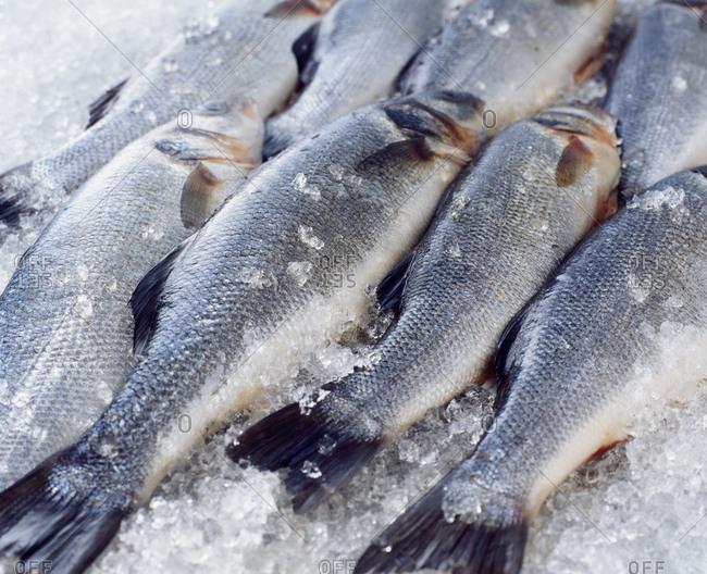 Raw whole sea bass on crushed ice