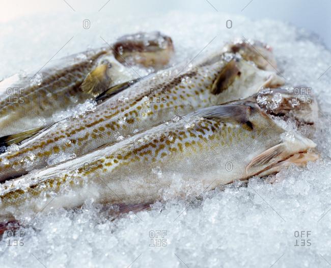 Raw whole cod on crushed ice