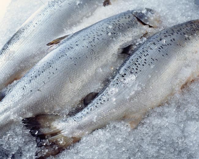 Raw whole salmon on crushed ice