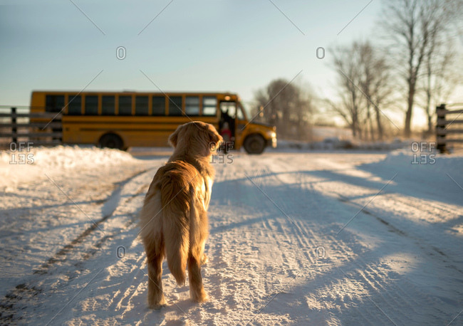 Golden retriever watching girl catching school bus from snow covered track, Ontario, Canada