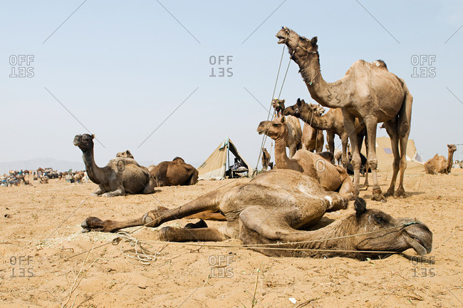 Camels at pushkar camel festival