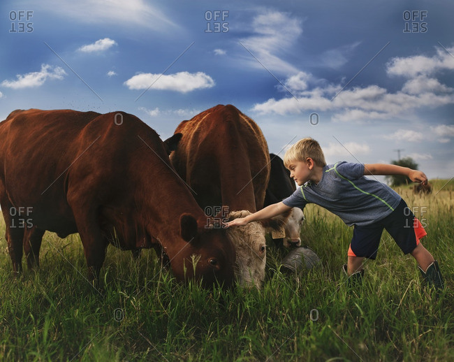 Boy standing in a field petting cows