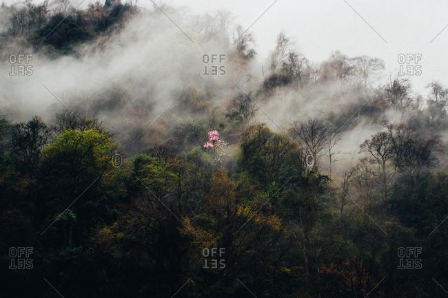 Flowering tree in misty woods