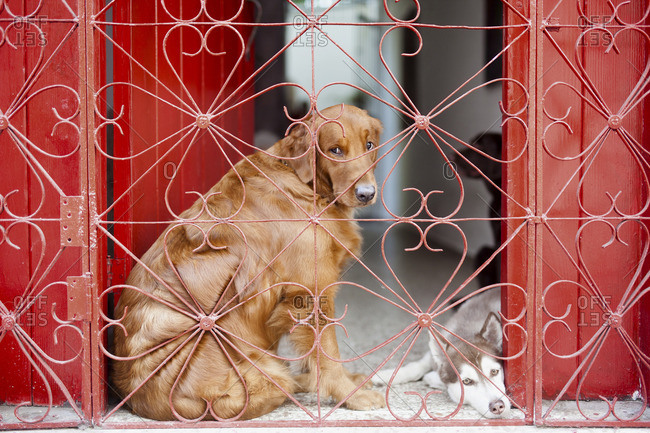 Dogs resting between red doors behind an iron fence