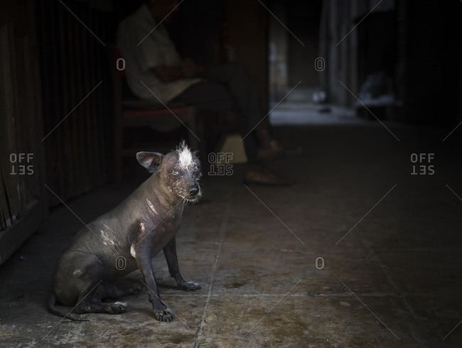 Mangy looking dog in home, Cuba