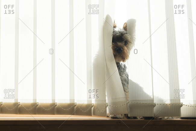Dog peering through window blinds