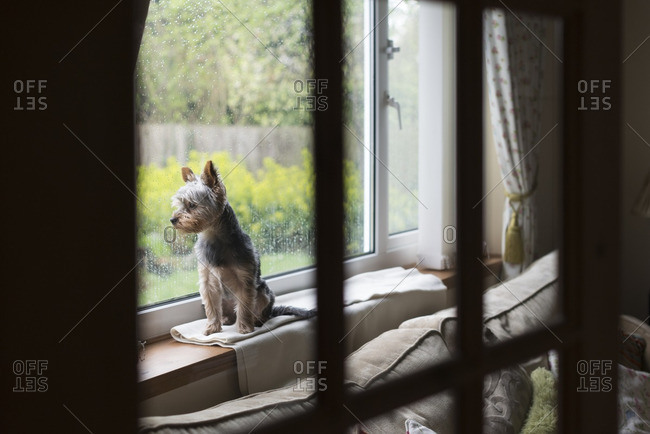 A dog sitting on a windowsill looking out from the living room window