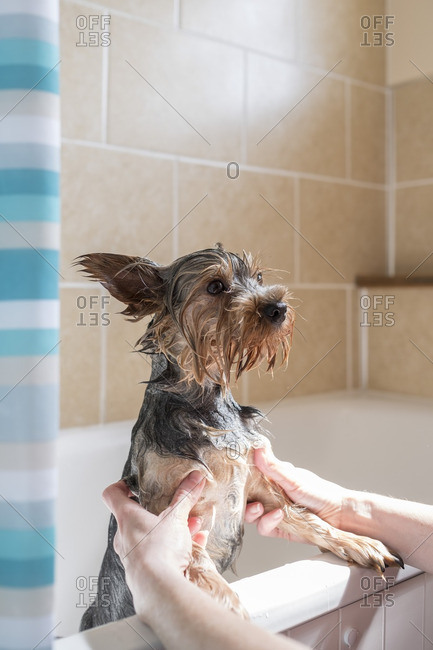 A dog getting a bath