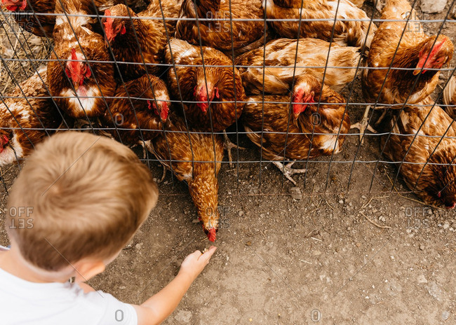 Overhead view of boy feeding chickens in pen