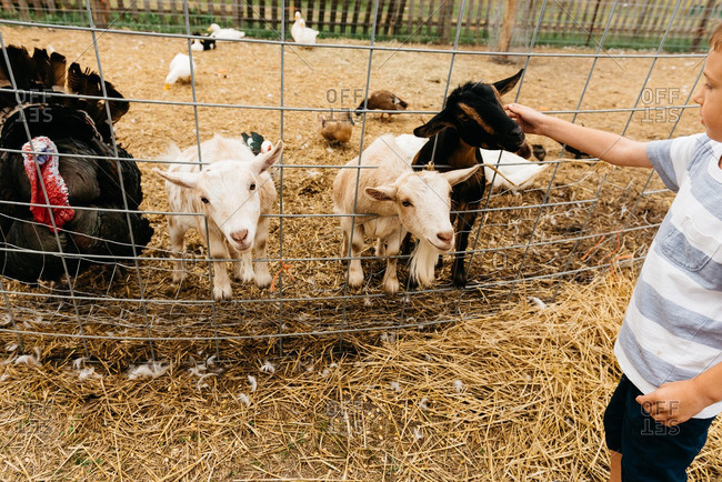 Boy pets black goat through fence in farmyard