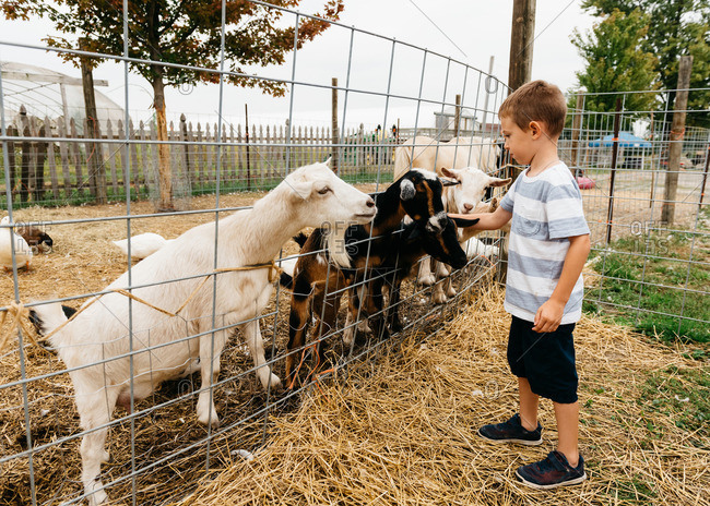 Goats clamor against fence to get food from boy