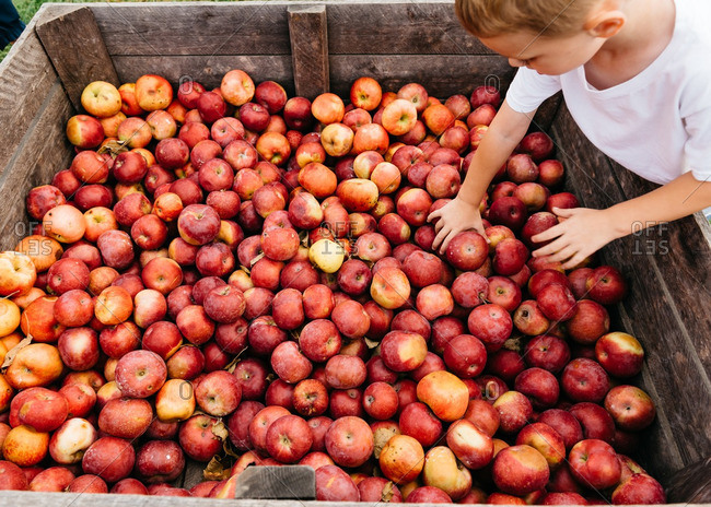 Boy at a bin of farm fresh apples