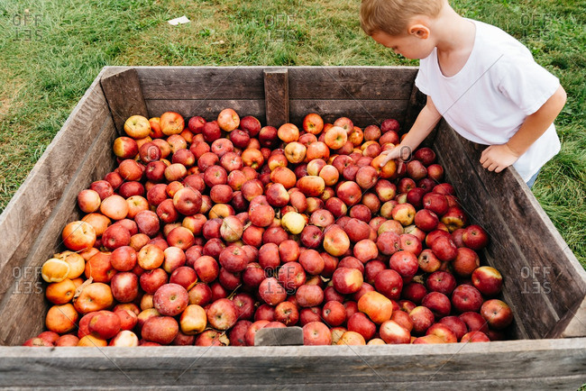 Boy picking apples from a big wooden bin on farm