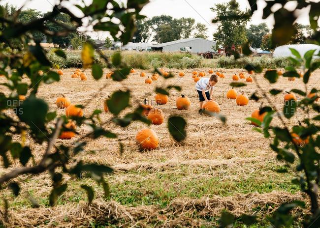Boy in pumpkin patch selects a pumpkin