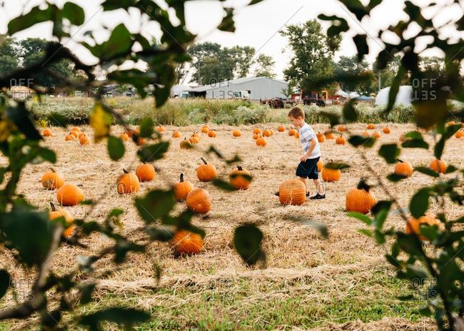 Boy walking through field of pumpkins in autumn