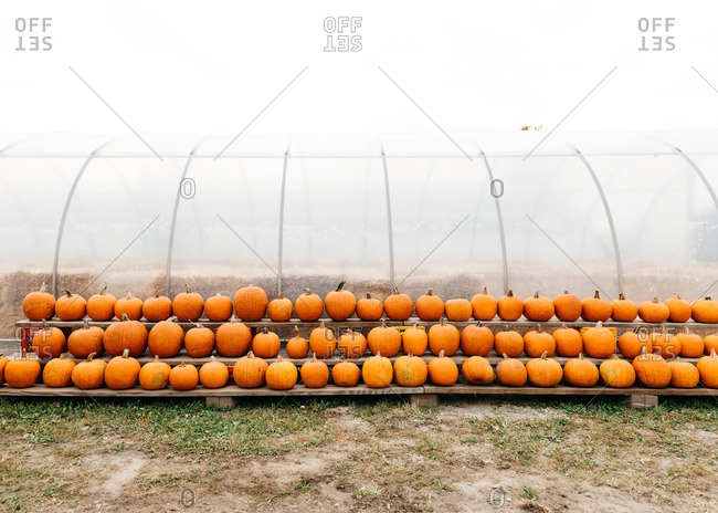 Rows of pumpkins on shelf outside of farm greenhouse