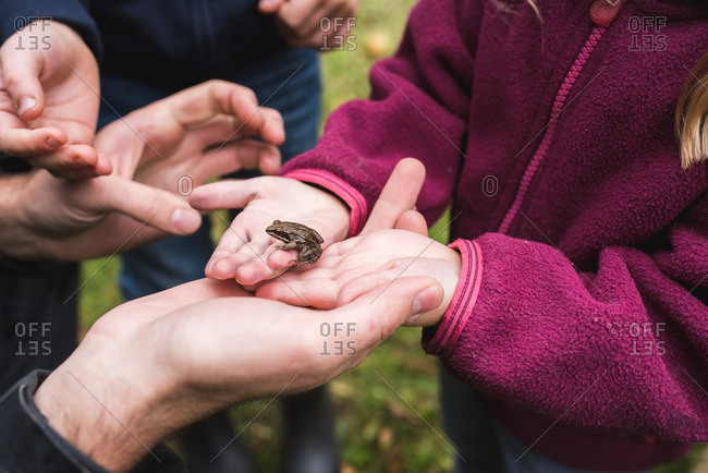 Hands of a father and children looking at a frog they've caught together