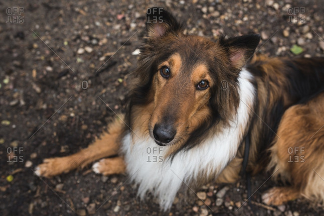 Collie dog lying on a dirt ground looking up