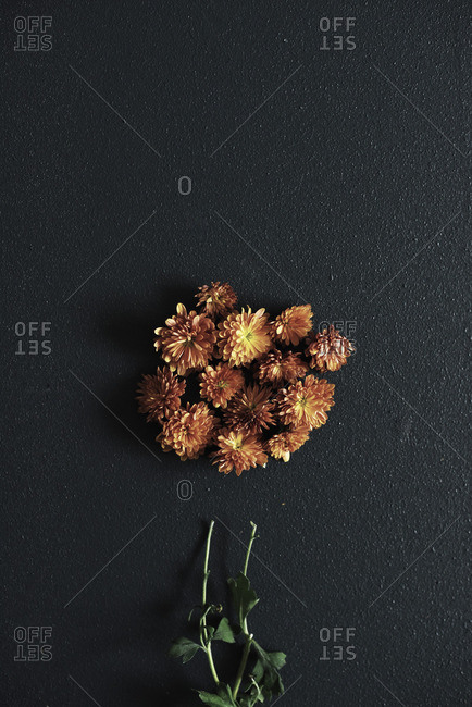Chrysanthemum petals arranged on dark background