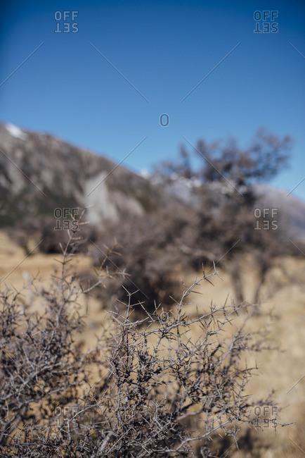 Thorn bush in a dried mountain field