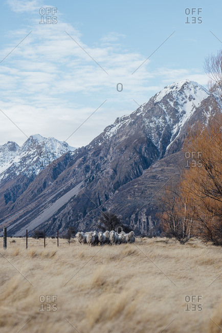Herd of sheep standing in a field at the base of a snowy mountain