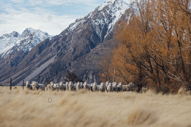 Group of sheep huddled together in a field at the base of a mountain