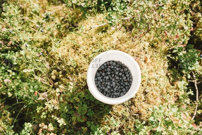 Bucket of fresh-picked blueberries on grass