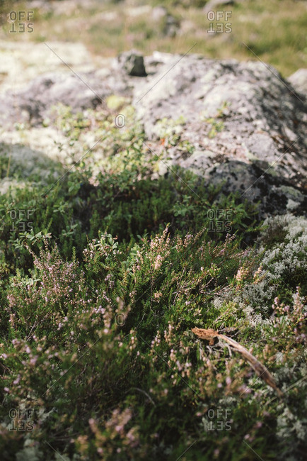 Flowering grasses growing beside a mossy rock