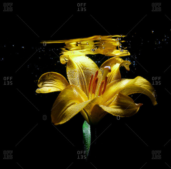 Yellow lily flower underwater on a black background