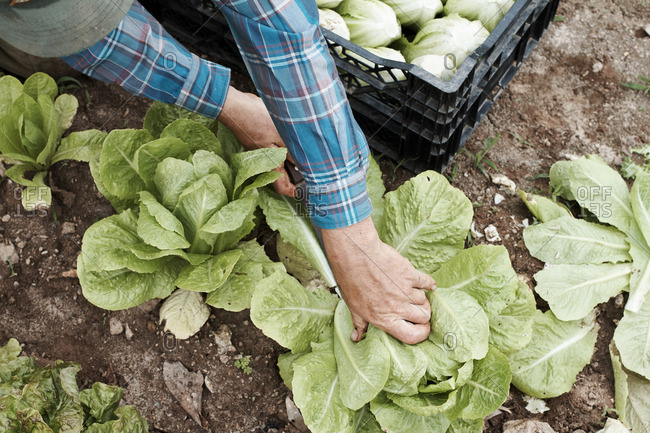 Person picking head of romaine lettuce from a garden