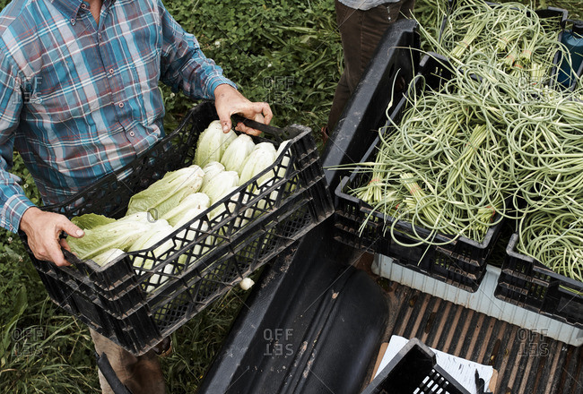 Man loading crate with lettuce into the bed of a truck