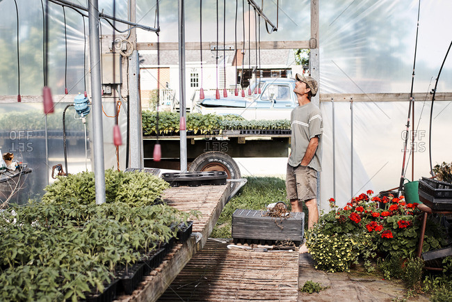 June 13, 2016: Man standing in a greenhouse on a farm looking up