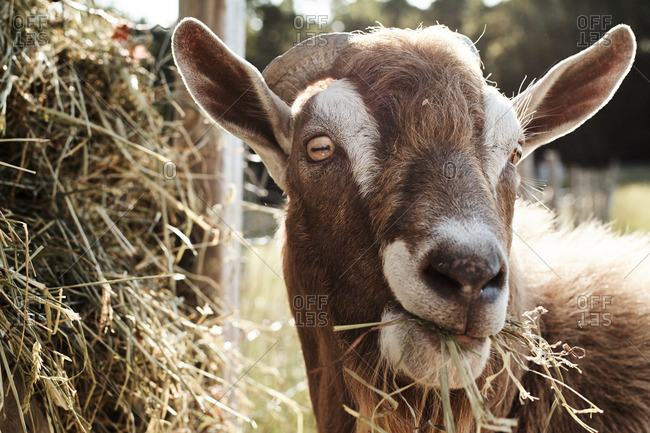 Close up of a Billy goat eating straw on a farm