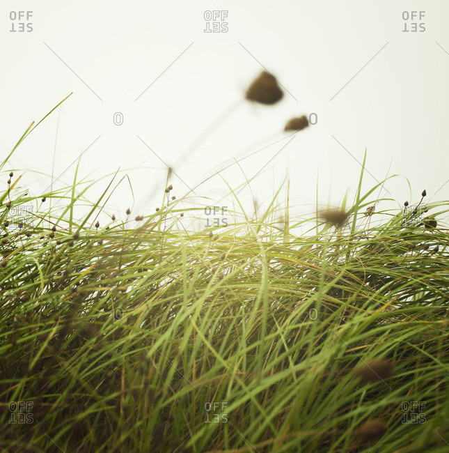 Tall grass moving in the breeze