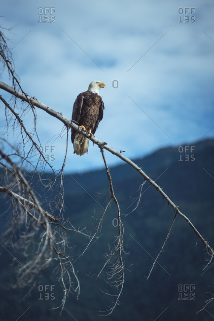 Bald eagle on a branch in forest