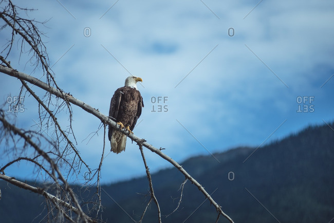 Bald eagle perched on branch in British Columbia