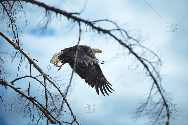 View through branches of bald eagle in flight