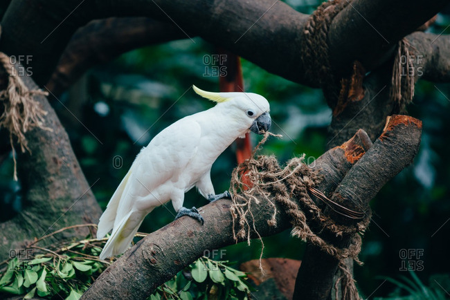 White parrot pulling string with beak