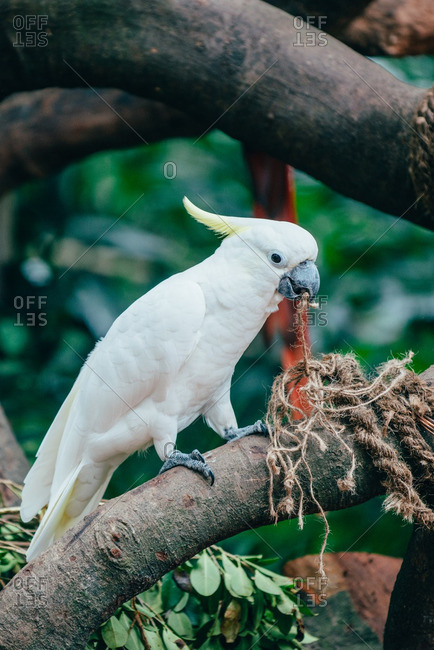 White cockatoo on branch pulling at string with beak