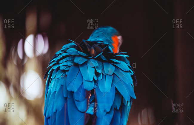 Back view of blue feathers of a macaw