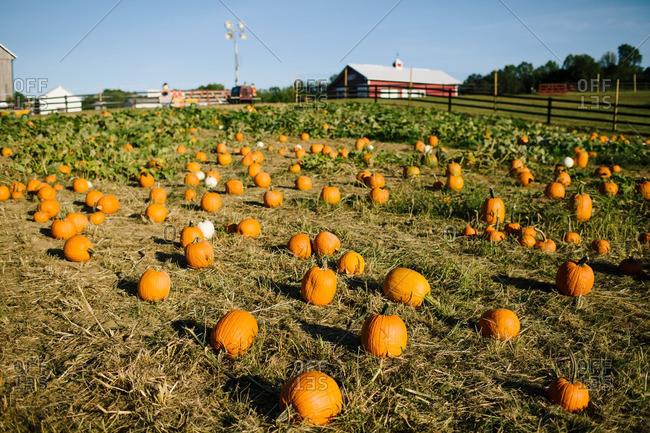 Pumpkins in a patch on a rural farm