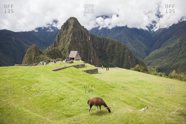 Llama grazing on grass at Huayna Picchu in Peru