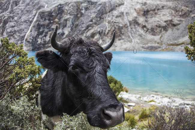 Close-up of a wild cow near a lake in Peru