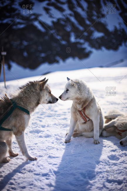 Sled dogs touching noses in snow