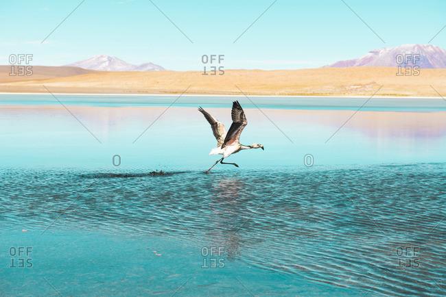 Bolivia Andes Altiplano White flamingo in Laguna Honda