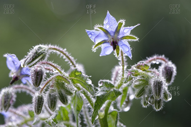 Starflowers with raindrops